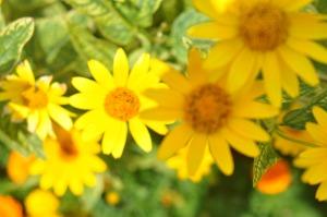 yellow-flowers1